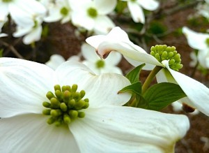 Dogwood 2 copy